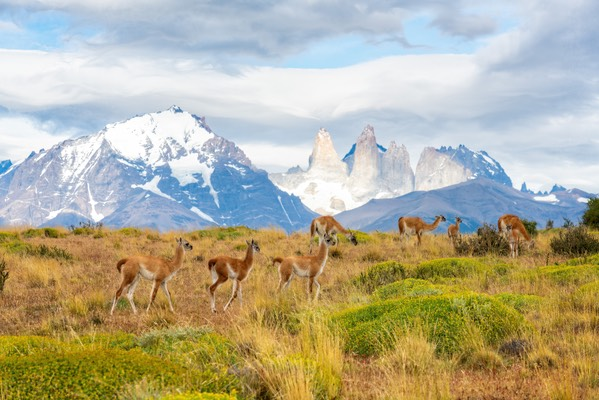 Guanacos with Torres del Paine